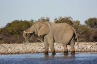 04trinkender-elefant